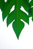 Leaf. Green babana leaf and white background stock photography