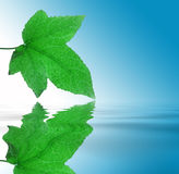 Leaf. Green leaf with detailed veins being reflected on smooth water Royalty Free Stock Image