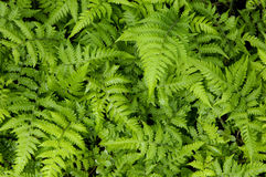 Leaf. Young green fern leaves background Royalty Free Stock Image