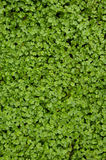 Leaf. Young green  leaves -close up Royalty Free Stock Image