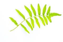 Leaf. On white background it's isolate Stock Photo