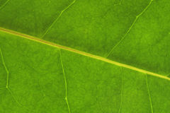 Leaf. Texture of a green leaf as background royalty free stock image