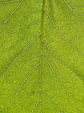 Leaf. Macro view of veins on surface of green leaf Royalty Free Stock Images