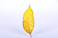 Leaf Royalty Free Stock Photo