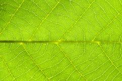Leaf. Walnut leaf with nervature Royalty Free Stock Images