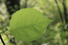 Leaf. A leaf on the forest background in the summer Stock Photography