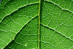 Leaf. Grrean leaf in close view with veins Stock Photography