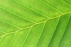 Leaf. Macro photo of a Leaf From Thailand Royalty Free Stock Image