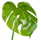 Leaf. Of monstera isolated on white background Stock Image