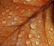 Leaf 3. Brown maple leaf with drops of rain, macro Stock Photos