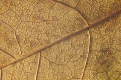 Leaf 3. Close-up shot of a transparent leaf Stock Photo