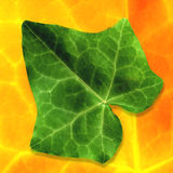 Leaf. Green leaf on abstract orange backround Stock Photos