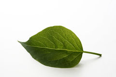 Leaf. Green leaf on white background Stock Photo