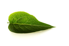 Leaf. Green leaf on white background Royalty Free Stock Photography