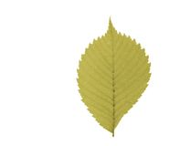 Leaf. Red leaf isolated on white Royalty Free Stock Photography