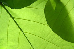 Leaf. Green leaf pattern - close up Royalty Free Stock Image