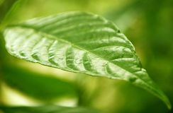 Leaf. A green leaf suitable for a shallow depth of field background Stock Photography