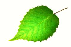 Leaf. Birch leaf isolated on white Royalty Free Stock Image