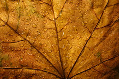 Leaf. Abstract autumnal background Royalty Free Stock Images