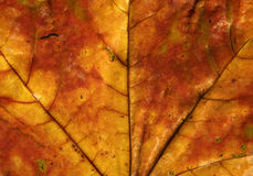 Leaf. Maple leaf. Abstract autumnal background Stock Photo