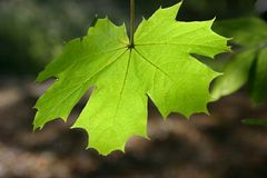 Leaf. Single leaf backlit Stock Photos