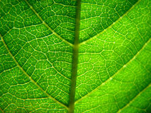 Leaf. Extreme macro of green leaf with veins Royalty Free Stock Image