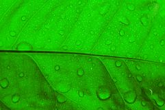 Leaf. Green leaf with drop water Royalty Free Stock Photos