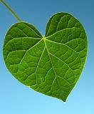 Leaf. Fascination of nature: small green leaf with its simplicity and complex structure at the same time and the open blue color behind as a symbol of pure Stock Photo