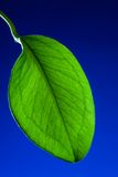 Leaf. Green leaf close up on a dark blue background Stock Photo