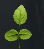 Leaf. Green fresh leaf on the black background Royalty Free Stock Image
