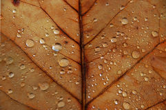 Leaf 5. Braun maple leaf with drops of rain, macro stock image
