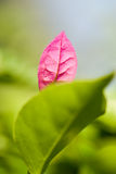 Leaf. Purple leaf in local focus royalty free stock photo