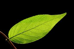 Leaf. A close-up photo of a green leaf on a black background Royalty Free Stock Photo