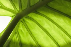 Leaf. Green foliate stock photo