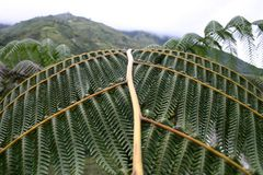 Leaf. Montane rainforest around Banos, Andes, Ecuador Stock Image