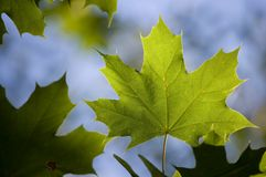 Leaf. A back lit maple leaf. Abstarct background royalty free stock photos