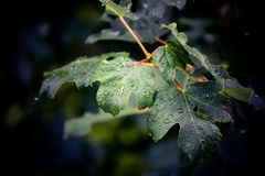 Leaf. After the rain. the green leaves looks so fresh with some raindrops on it Royalty Free Stock Image
