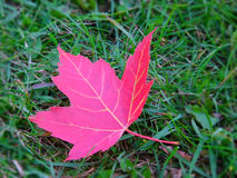 Leaf. Canadian leaf on grass royalty free stock photos