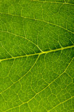 Leaf. Green leaf texture closeup with lines Royalty Free Stock Image