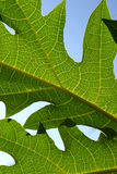 Leaf. And blue sky Royalty Free Stock Photography