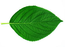 Free Leaf Royalty Free Stock Photos - 6354718