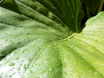 Leaf. Water droplets on a leaf in an Australian garden Royalty Free Stock Photo