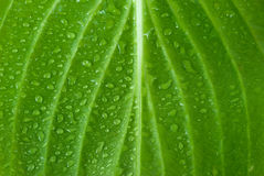 Leaf. Green page in drops of a rain are close-up Royalty Free Stock Photo