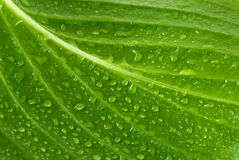 Leaf. Green page in drops of a rain are close-up Stock Photography