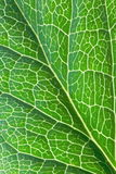 Leaf. Macro picture of green leaf Royalty Free Stock Photography