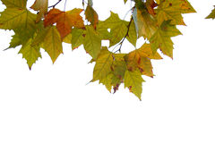 Leaf. Back-lit maple leafs isolated on white Royalty Free Stock Photography