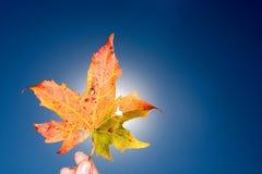 Leaf. Autumn leaf in North Carolina on a blue background Stock Image
