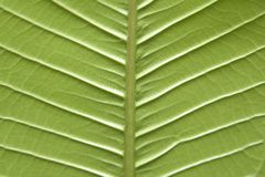 Leaf. Close-up of the back of a leaf Stock Photography