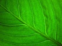 Leaf. Illuminated close up photo of green leaf Royalty Free Stock Images