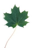 Leaf. Green maple leaf on white Royalty Free Stock Photography